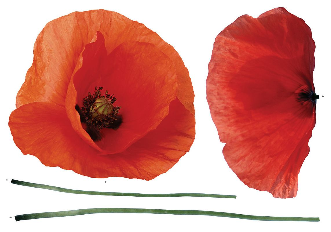 Brewster CR-57105 Poppies Wall Decal Home Decor Wall Decals