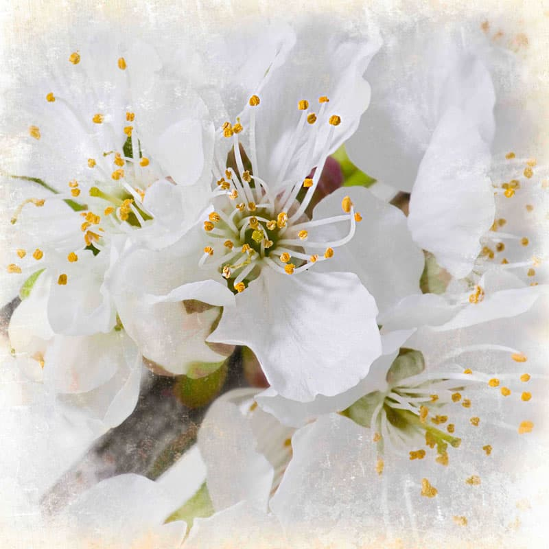 Marmont Hill White Blossoms Aryai Painting Print on Canvas 32 x 32