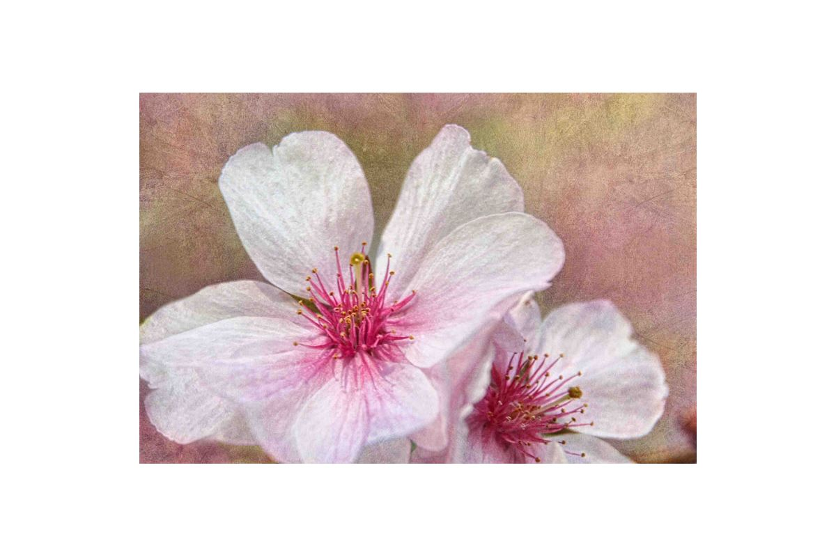 Marmont Hill Cherry Blossoms Theo Painting Print on Canvas 12 x 18
